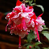 Fuchsia Seeds Bonsai Lantern Flower Fuchsia -